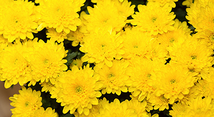 chrysanthemum-s